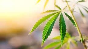 Cannabidiol (CBD) – die Uralte Pflanzenkraft